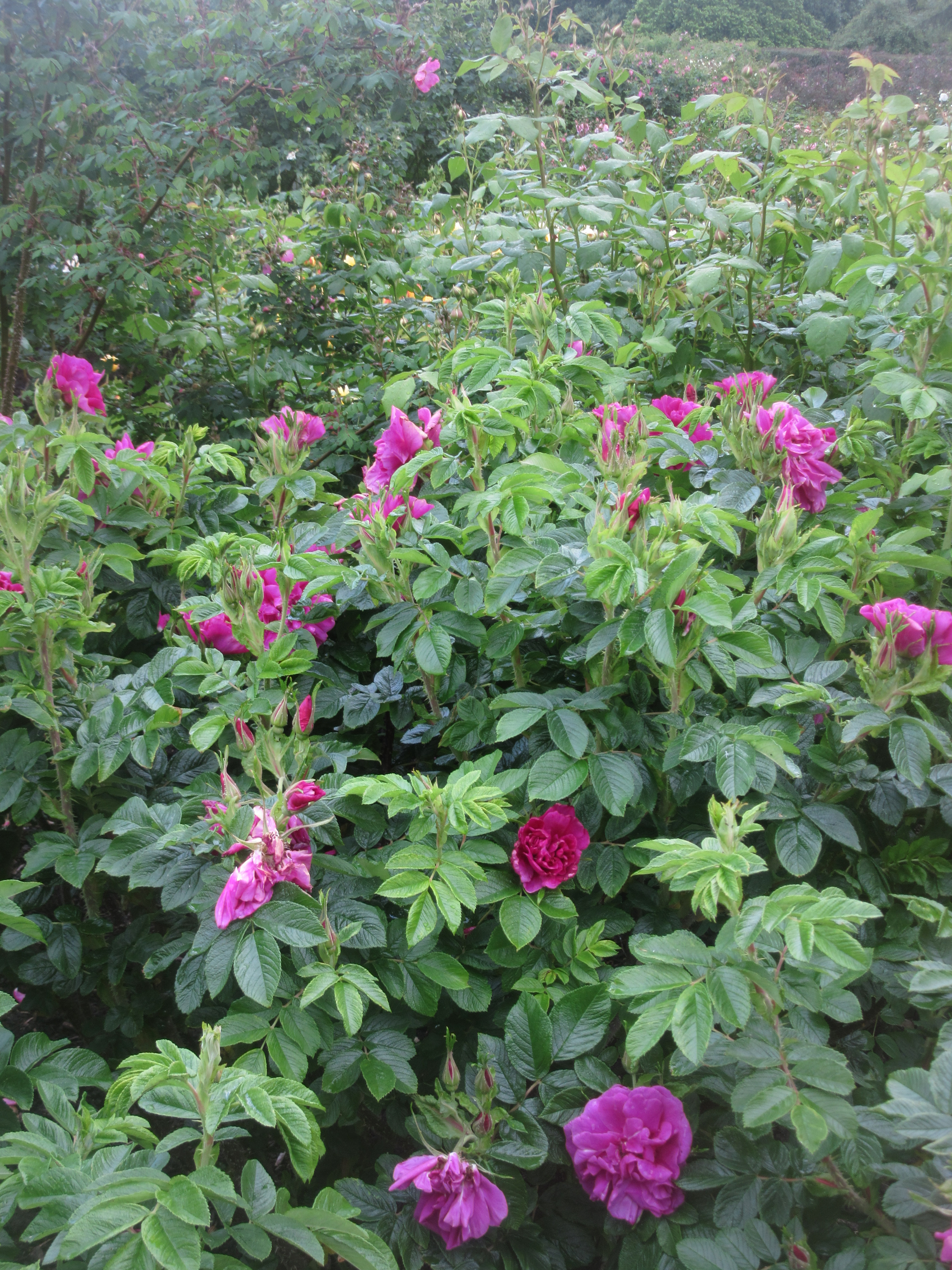 Roses In Garden: Wild Roses, Old Roses, English