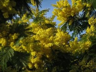 acacia yellow spring