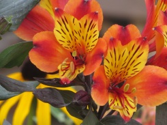 Alstroemeria Indian Summer 2