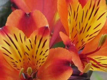Alstroemeria Indian Summer