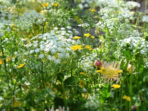 ammi majus soft white yellow highlights