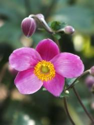 Anemone praecox
