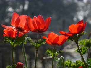 anemone red 2
