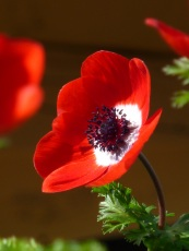 anemone red white