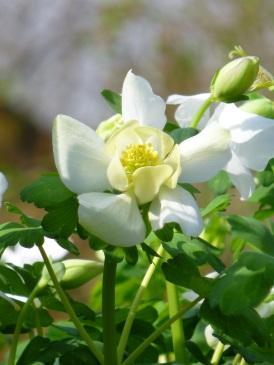 aquilegia white