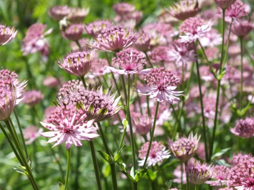 astrantia roma soft