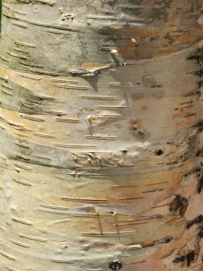 betula bark 2