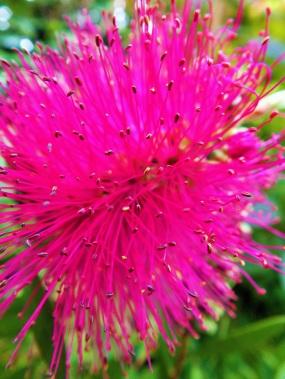 callistemon pink