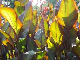 cannas tropical leaves