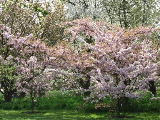cherry blossom kew 2