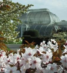 cherry blossom kew 3