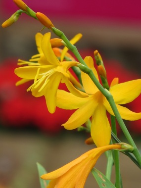 crocosmia yellow red