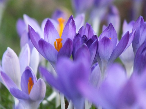 crocus blue gold stamen