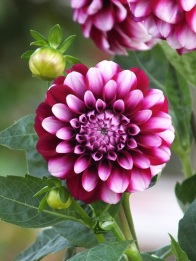 dahlia purple white pompom