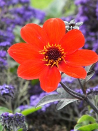 dahlia red heliotrope blue