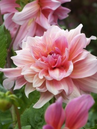 dahlias pink but bold