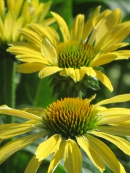 echinacea yellow green