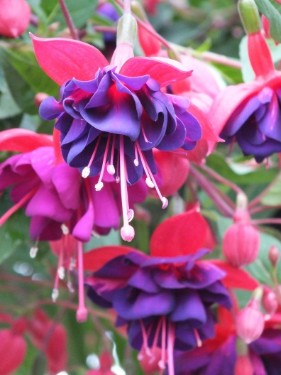 Fuchsia blue red
