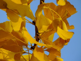 gingko golden leaves
