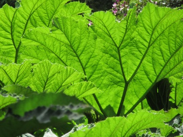 gunnera manicata green