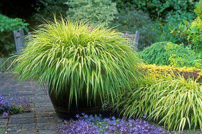 HAKONECHLOA MACRA, AUREOLA, PERENNIAL ORNAMENTAL GRASS, ARCHING YELLOW LEAVES, IN CONTAINER. CAMPANULA POSCHARSKYANA, VIGOROUS PERENNIAL WITH PURPLE FLOWERS IN PATH. JUNE, SUMMER.
