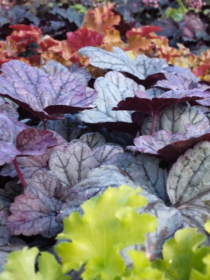 heuchera mixed