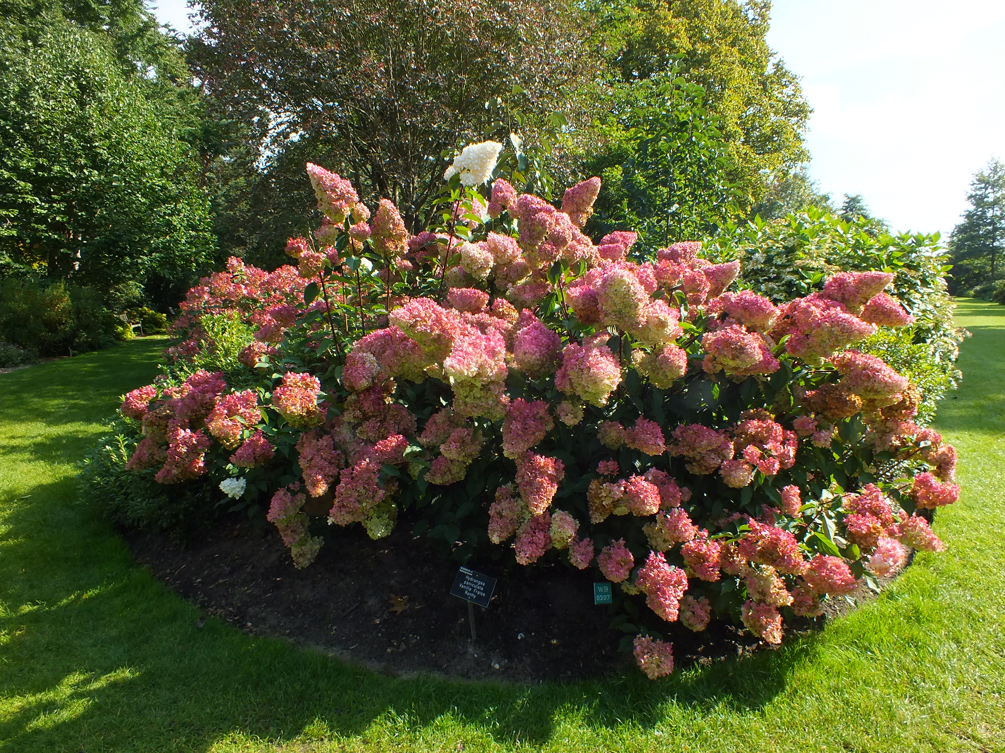 hydrangea paniculata vanille fraise the teddington gardener. Black Bedroom Furniture Sets. Home Design Ideas