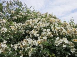 Rosa mulliganii