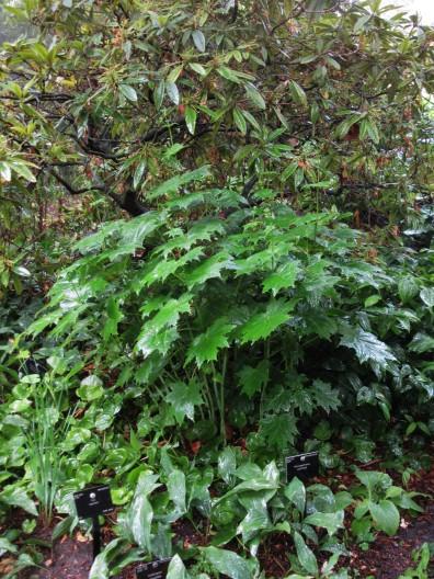 Kirengeshoma palmatum
