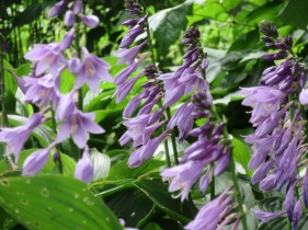 Hosta in flower