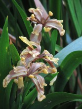 Iris foetidissima Chinese Yellow