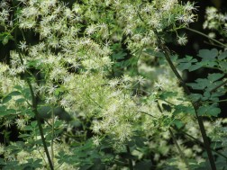 Thalictrum polygonatum