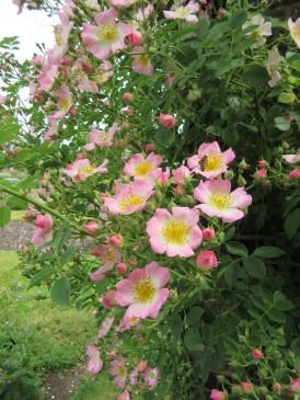 Kew Ramber