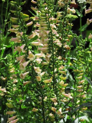 Digitalis Glory of Roundway