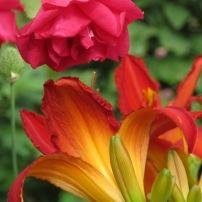 Hemerocallis & Paul's Scarlet Rose