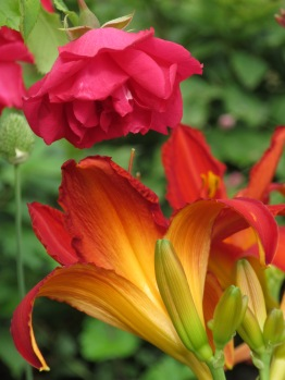 Hemerocallis & Paul's Scarlet Rose