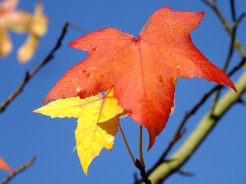 liquidamber autumn
