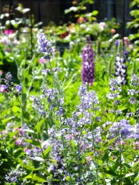 nepeta lupins blue pale