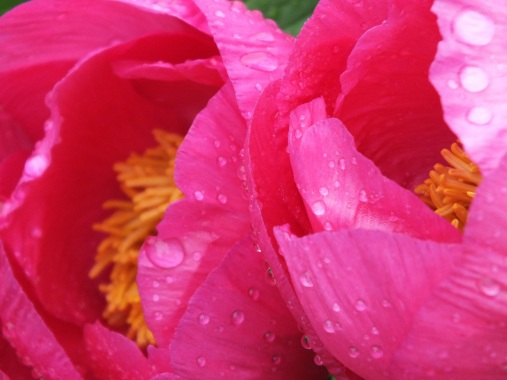 paeonie honor zingy pink
