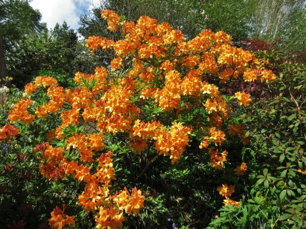 rhodeodendron christopher wren orange neon