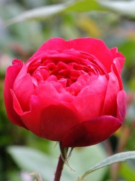 rose benjamin britten hot pink