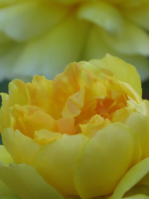 rose charlotte yellow