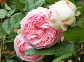 rose eden rose pink