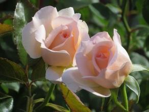 rose elizabeth harkness soft pink
