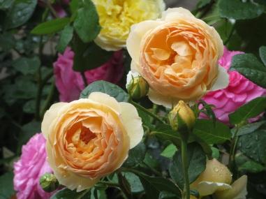rose jude the obscure pilgrim gertrude