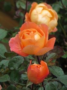 rose lady emma hamilton dark leaf