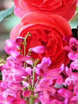 rose orange penstemon pink