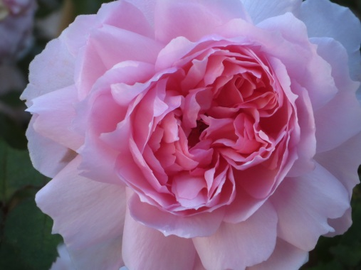 rose wedgewood rose