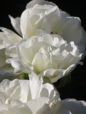 rose winchester cathedral white