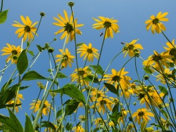 rudbeckia yellow blue sky